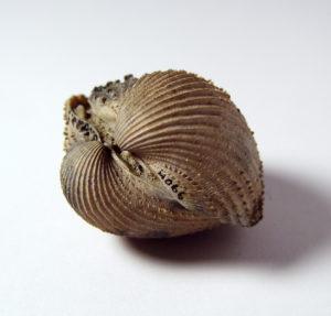 Cardium turonicum GSUB L334