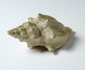 Eosephaea muricina GSUB L857