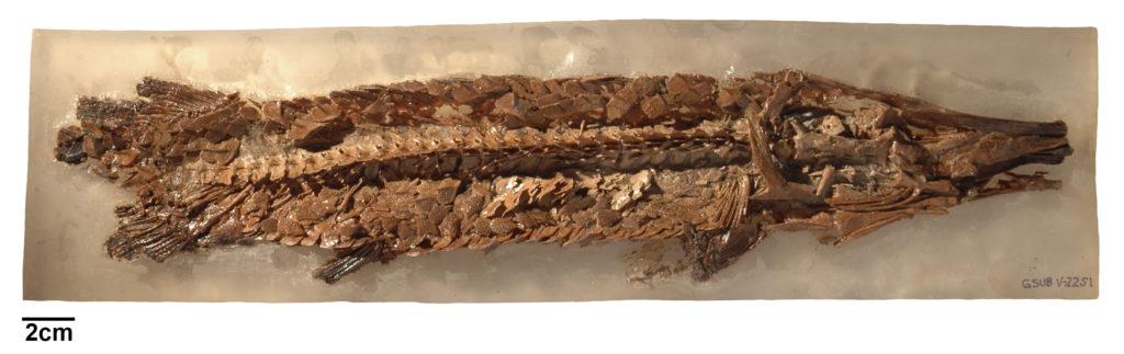 Obaichthys decoratus (Wenz & Brito, 1992) GSUB V2251