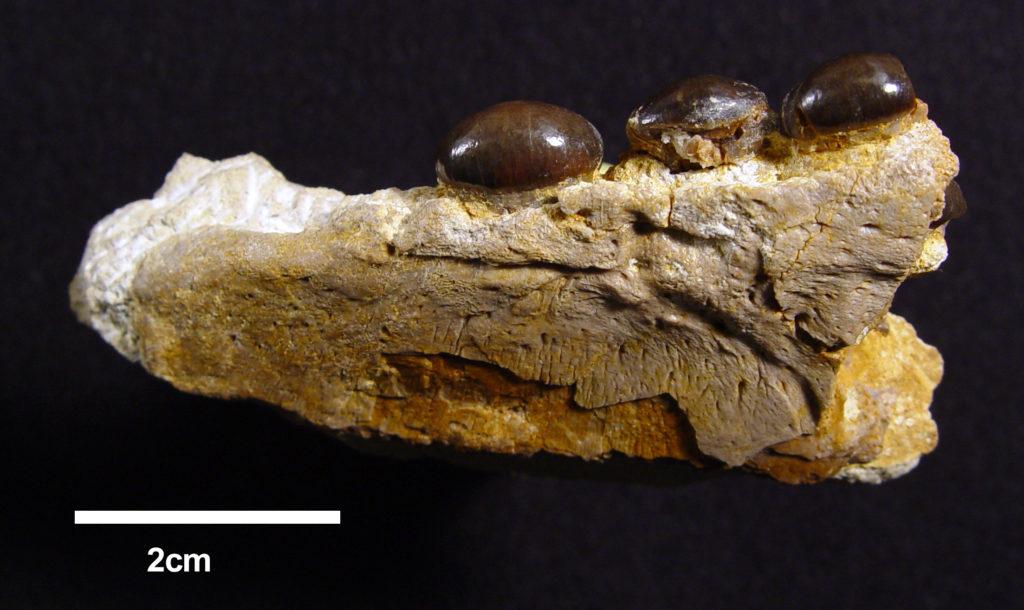 Omphalosaurus peyeri GSUB V1427