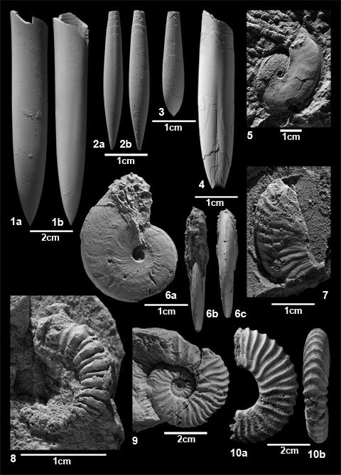 Belemniten und Ammoniten aus den Grabungen in Ahaus-Alstätte. Belemniten: 1 Oxyteuthis depressa, 2-3 Neohibolites ewaldi und 4 Duvalia grasiana, Ammoniten: 5-7 Aconeceras und Sanmartinoceras, 8 Ancyloceras und 9-10 Deshayesites. Aus Lehmann et al. (2012)
