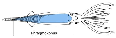 Schematische Darstellung eines Belemniten, verändert nach Stevens (2010). In Blau der Auftriebsapparat des Phragmokonus