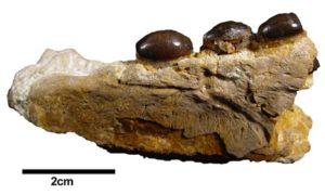 Omphalosaurus peyeri Holotyp V1427