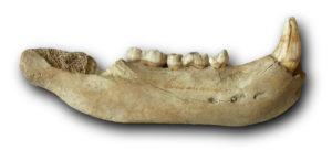 Über Ursus spelaeus (Höhlenbär) in der Geowissenschaftlichen Sammlung der Universität Bremen @ GSUB Raum 0180 | Bremen | Bremen | Deutschland