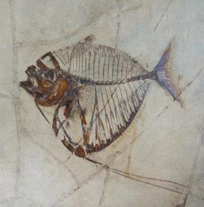 Korallenfisch Mene rhombea (Volta) Original im Naturkunde-Museum Verona Italien (Bolca-Saal). Fossilprägung Weigert, Eigentum von Dieter Siebert